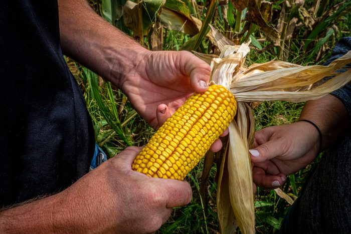 A farmer holding corn